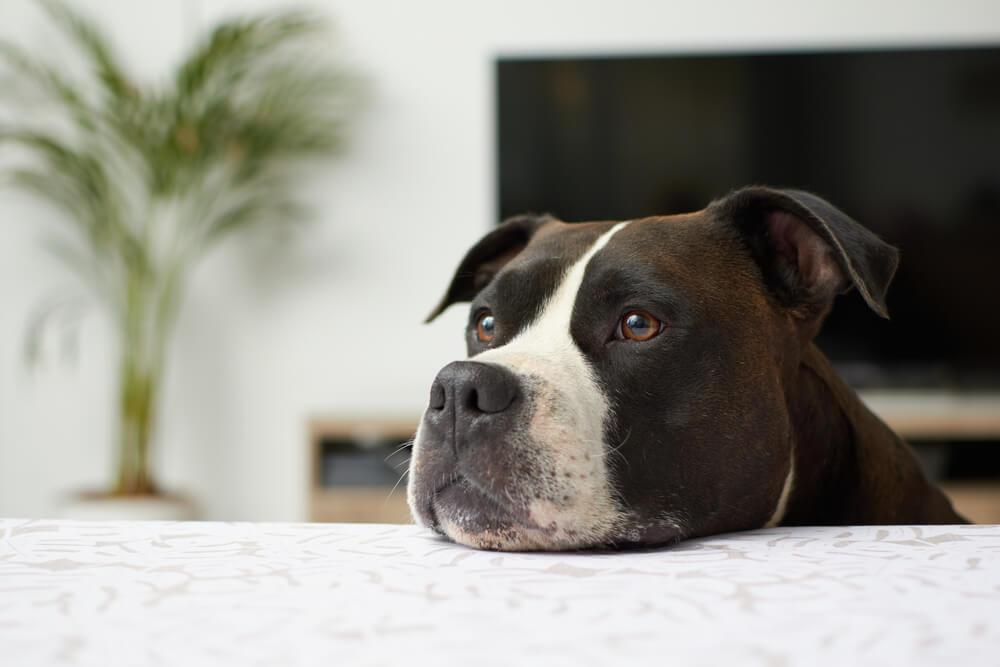Cachorro com a cabeça deitada em uma cama.