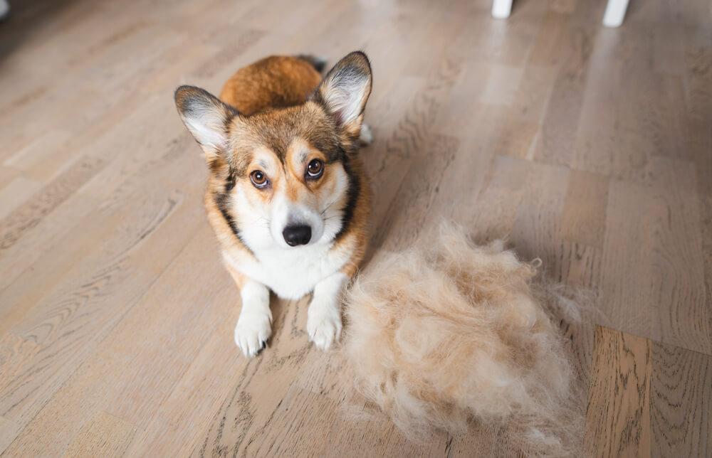 Cachorro com um tufo de pelos ao lado.
