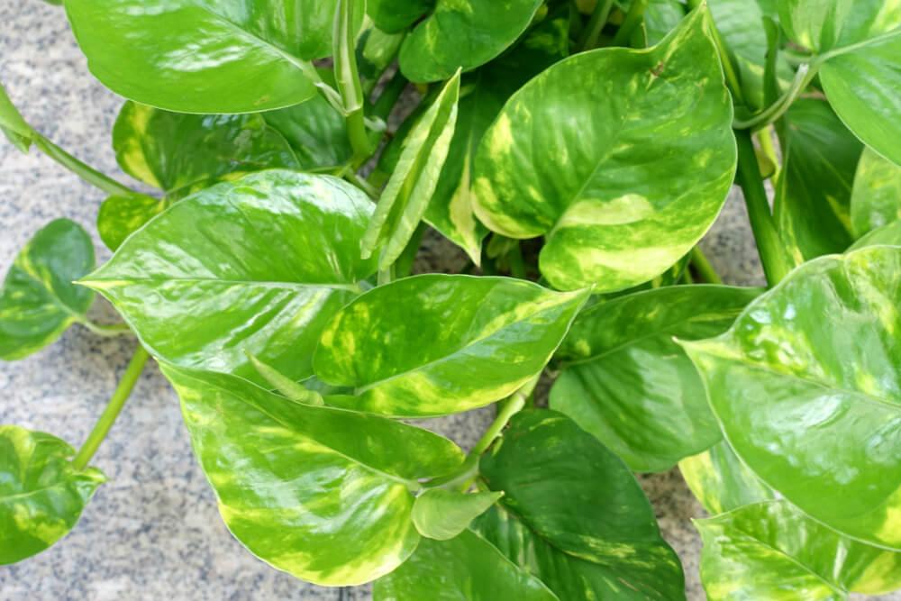 Imagem de uma planta jibóia.