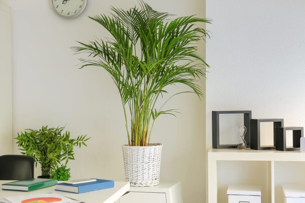Imagem de bambu-palmeira.